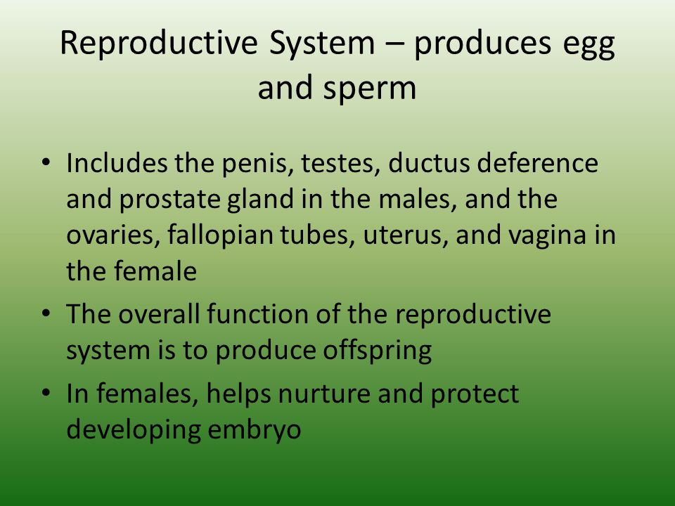 Reproductive System – produces egg and sperm