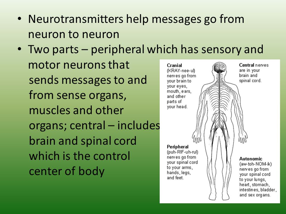 Neurotransmitters help messages go from neuron to neuron