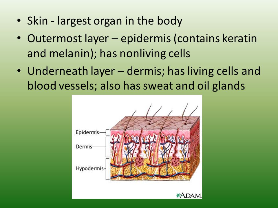 human systems function and interactions - ppt download, Cephalic Vein