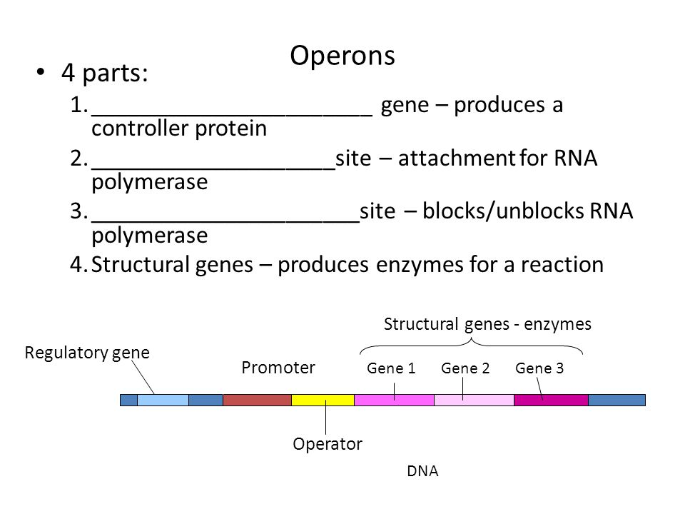 Operons 4 parts: _______________________ gene – produces a controller protein. ____________________site – attachment for RNA polymerase.