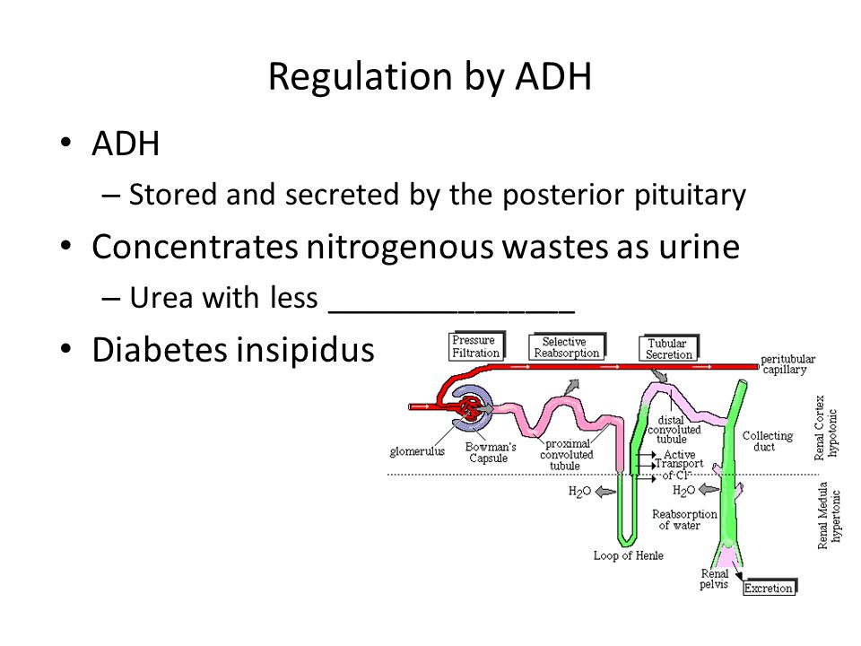 Regulation by ADH ADH Concentrates nitrogenous wastes as urine