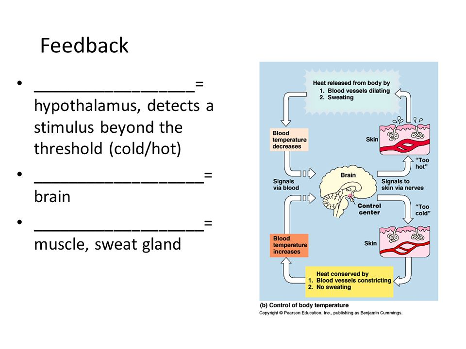 Feedback __________________= hypothalamus, detects a stimulus beyond the threshold (cold/hot) ___________________= brain.