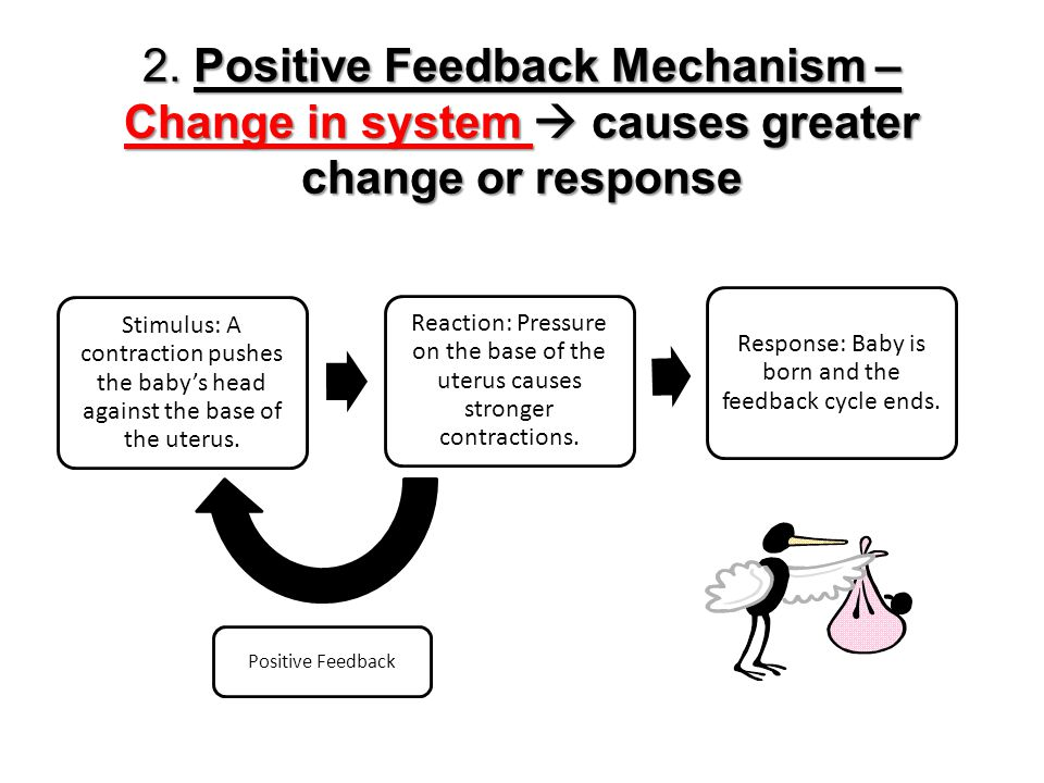 Response: Baby is born and the feedback cycle ends.