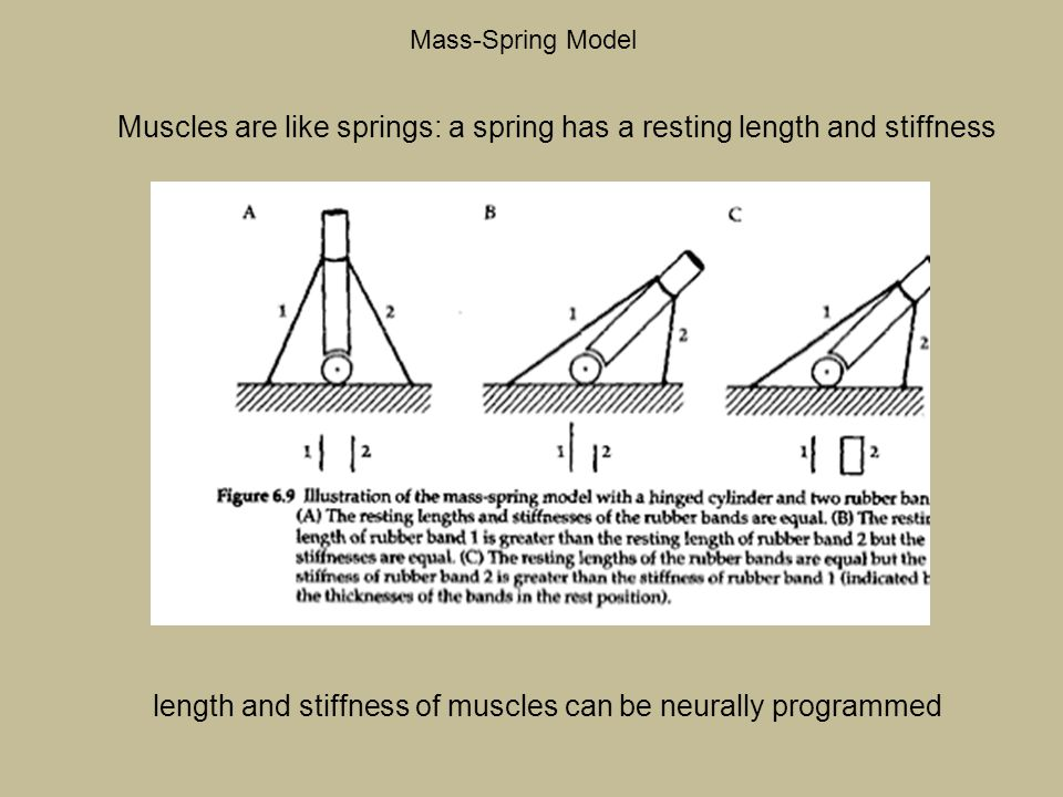 Muscles are like springs: a spring has a resting length and stiffness