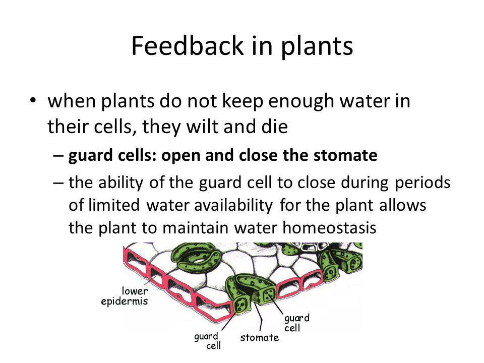 Feedback in plants when plants do not keep enough water in their cells, they wilt and die. guard cells: open and close the stomate.