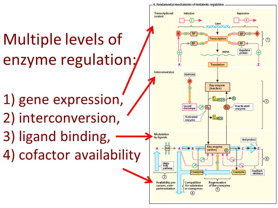 Multiple levels of enzyme regulation: 1) gene expression, 2) interconversion, 3) ligand binding, 4) cofactor availability