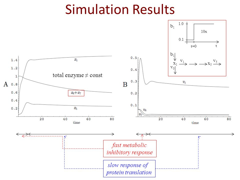 Simulation Results total enzyme ≠ const fast metabolic