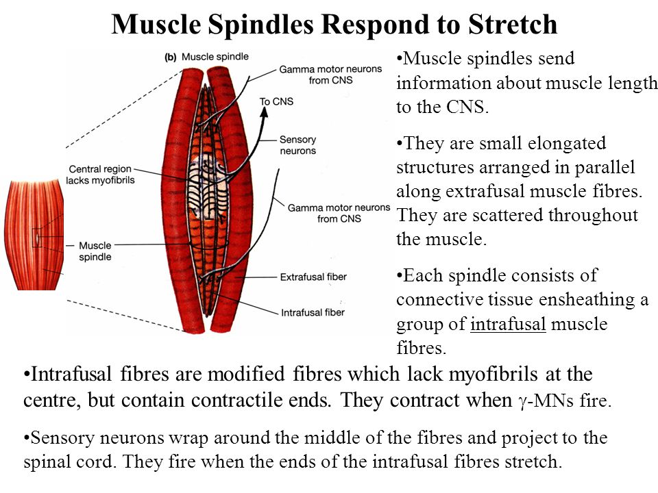 Muscle Spindles Respond to Stretch