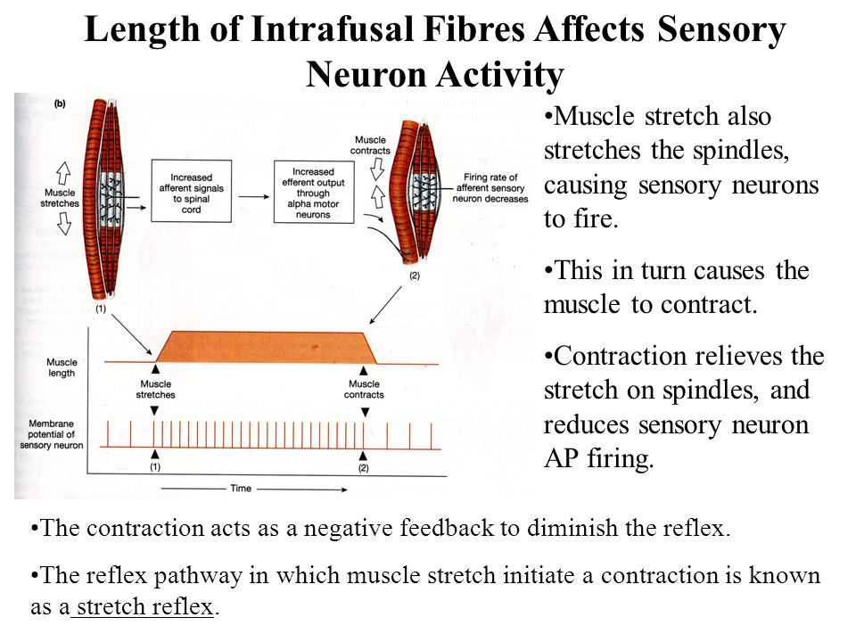 Length of Intrafusal Fibres Affects Sensory Neuron Activity
