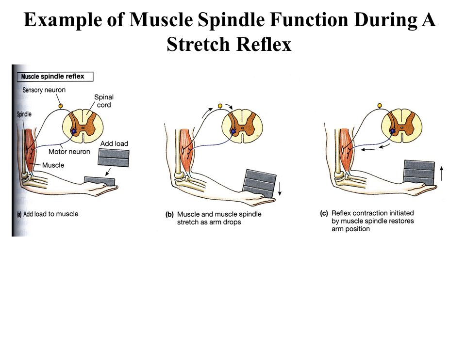 Example of Muscle Spindle Function During A Stretch Reflex