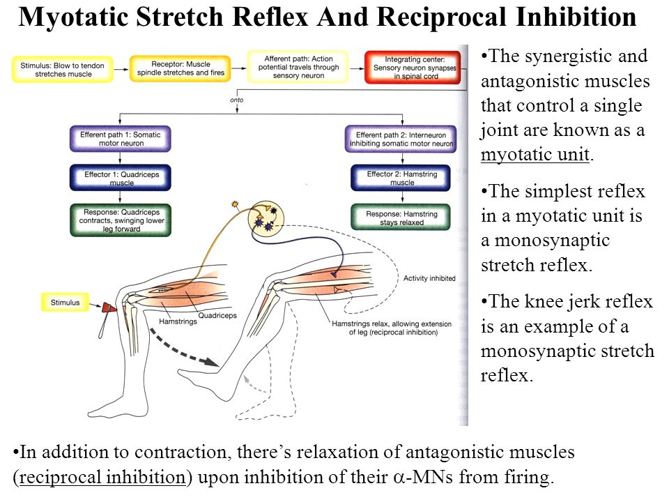 Myotatic Stretch Reflex And Reciprocal Inhibition
