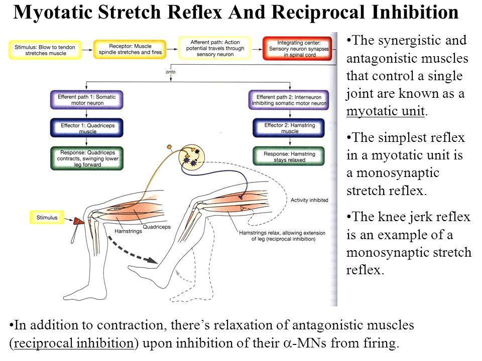 Myotatic Stretch Reflex And Reciprocal Inhibition