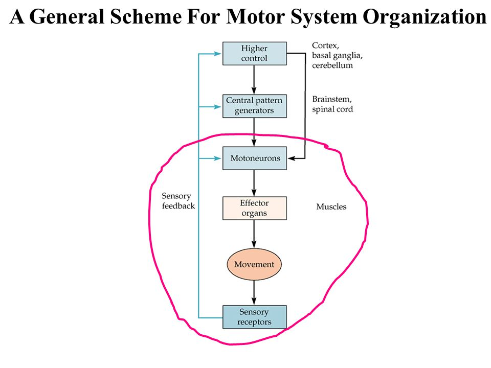 A General Scheme For Motor System Organization