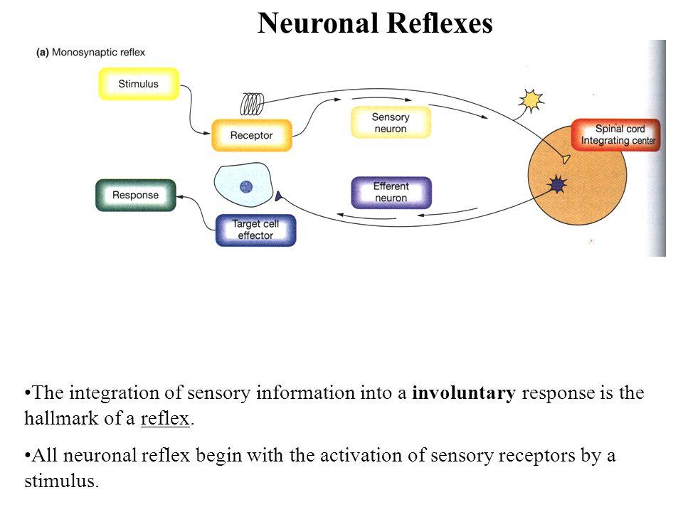 Neuronal Reflexes The integration of sensory information into a involuntary response is the hallmark of a reflex.
