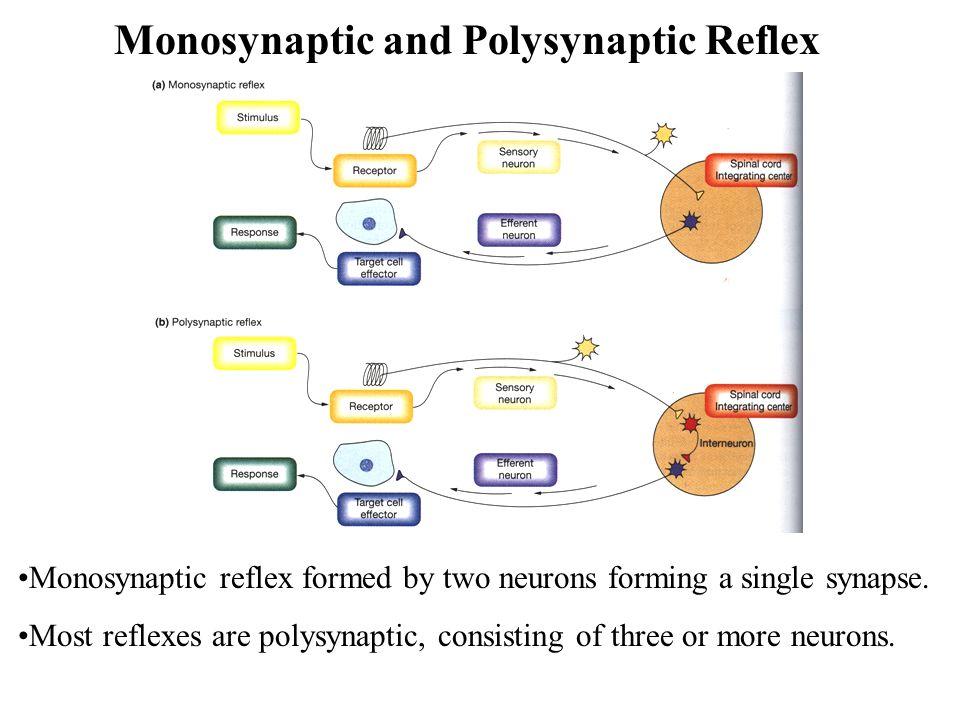 Monosynaptic and Polysynaptic Reflex