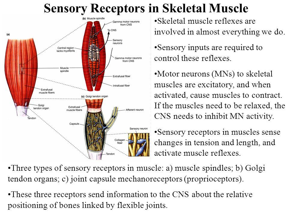 Sensory Receptors in Skeletal Muscle