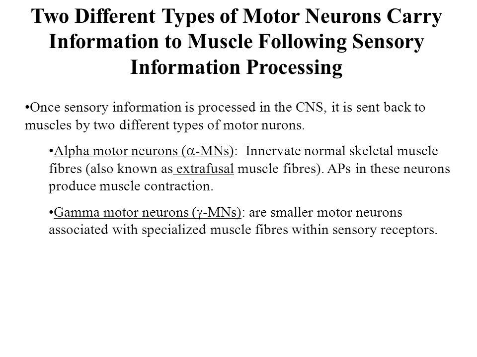 Two Different Types of Motor Neurons Carry Information to Muscle Following Sensory Information Processing