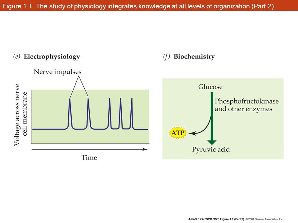 Figure 1.1 The study of physiology integrates knowledge at all levels of organization (Part 2)