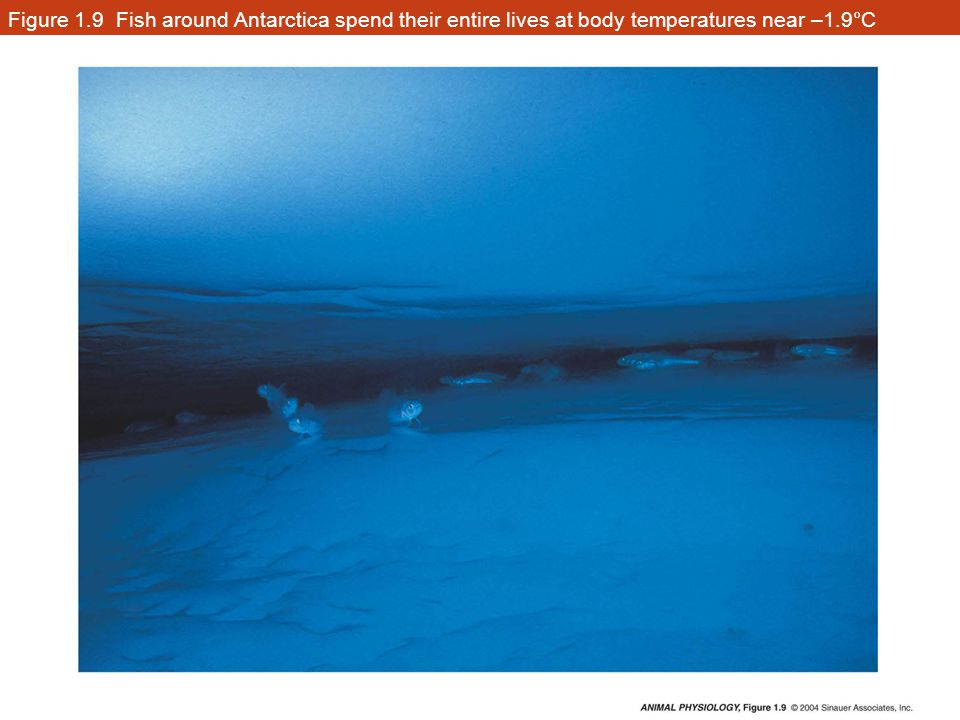 Figure 1.9 Fish around Antarctica spend their entire lives at body temperatures near –1.9°C