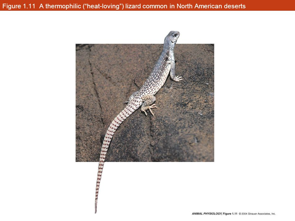Figure 1.11 A thermophilic ( heat-loving ) lizard common in North American deserts