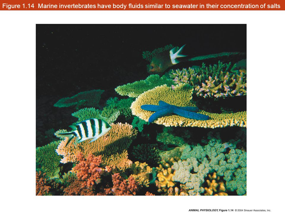 Figure 1.14 Marine invertebrates have body fluids similar to seawater in their concentration of salts