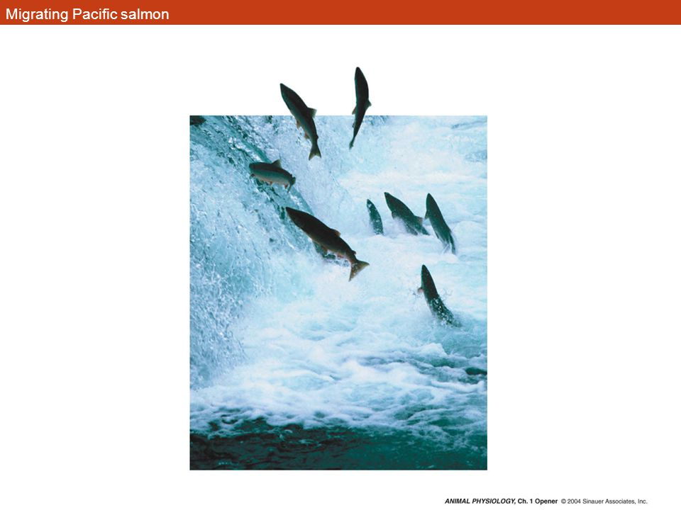 Migrating Pacific salmon