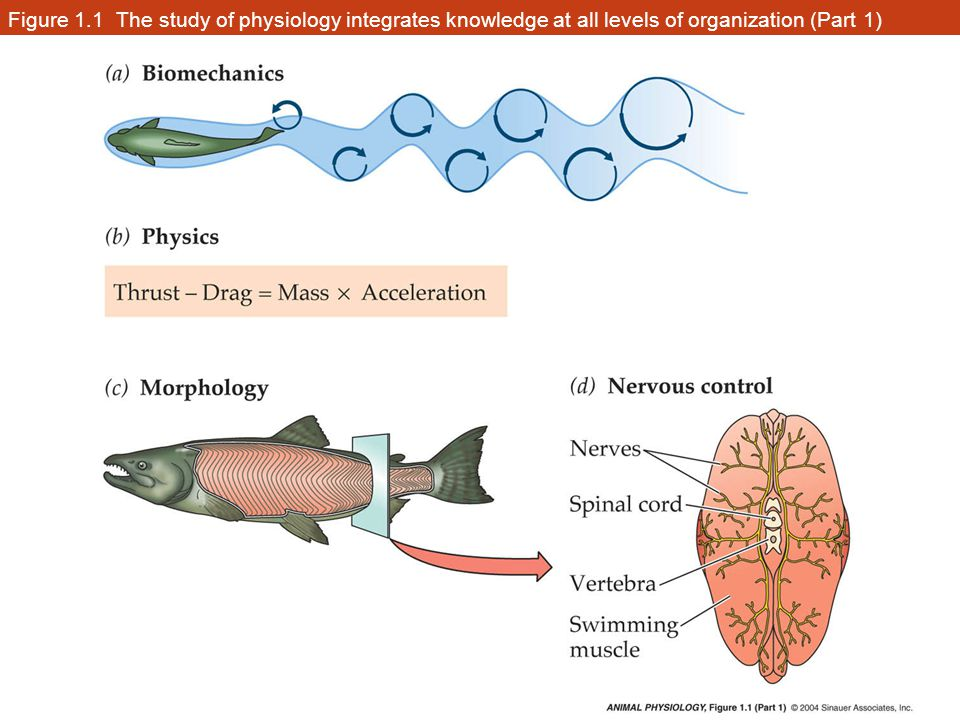 Figure 1.1 The study of physiology integrates knowledge at all levels of organization (Part 1)