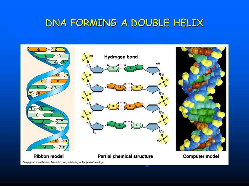 DNA FORMING A DOUBLE HELIX