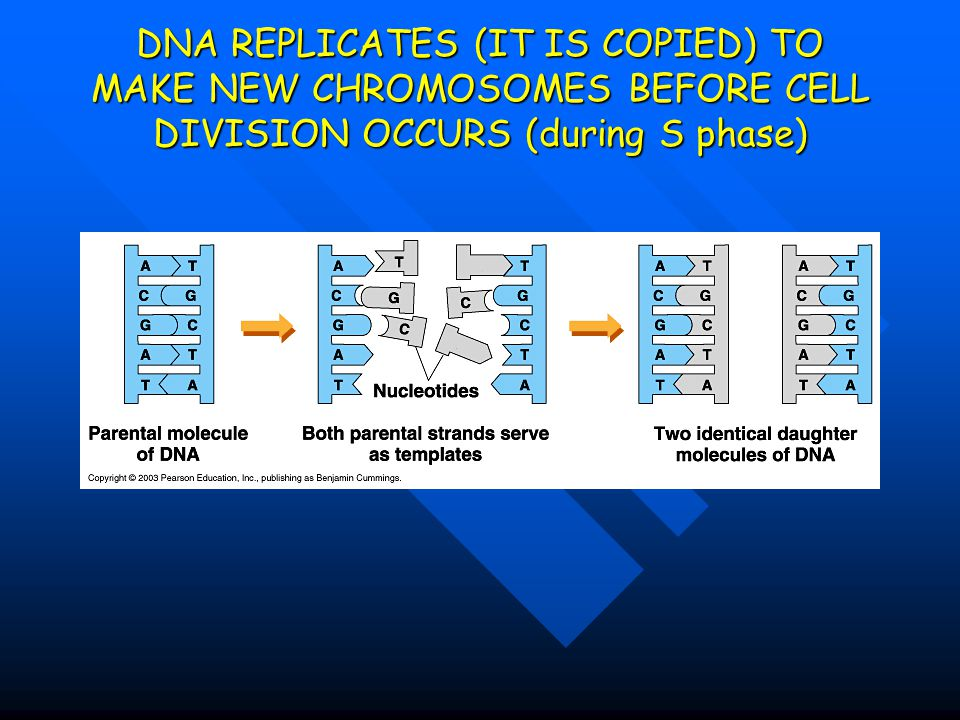 DNA REPLICATES (IT IS COPIED) TO MAKE NEW CHROMOSOMES BEFORE CELL DIVISION OCCURS (during S phase)