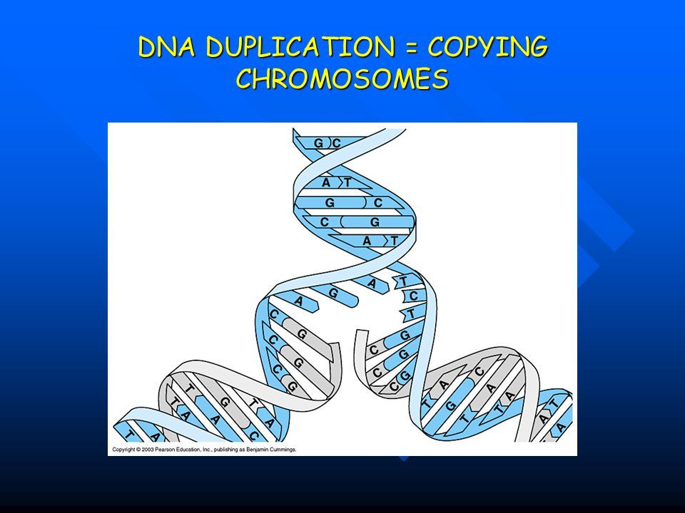DNA DUPLICATION = COPYING CHROMOSOMES