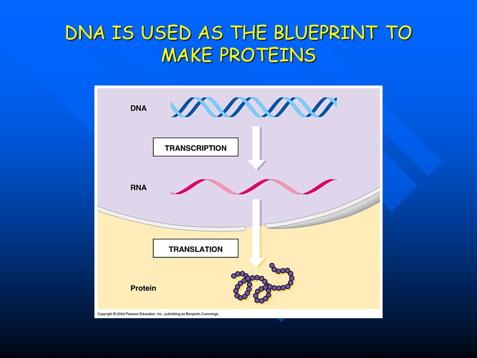 DNA IS USED AS THE BLUEPRINT TO MAKE PROTEINS