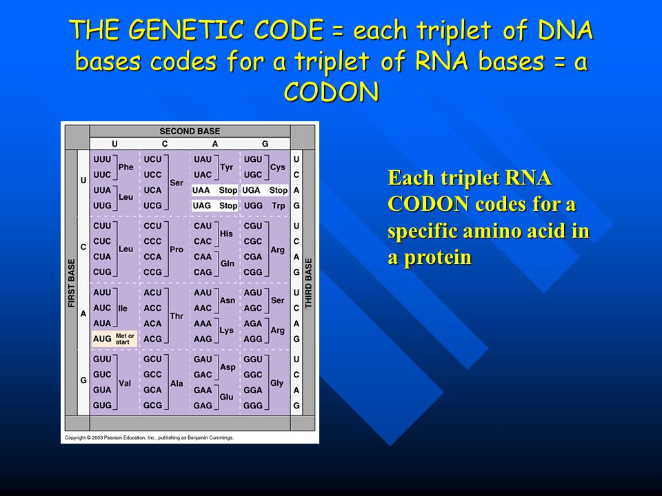 THE GENETIC CODE = each triplet of DNA bases codes for a triplet of RNA bases = a CODON