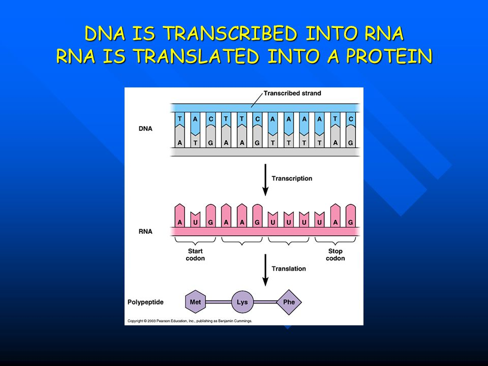 DNA IS TRANSCRIBED INTO RNA RNA IS TRANSLATED INTO A PROTEIN