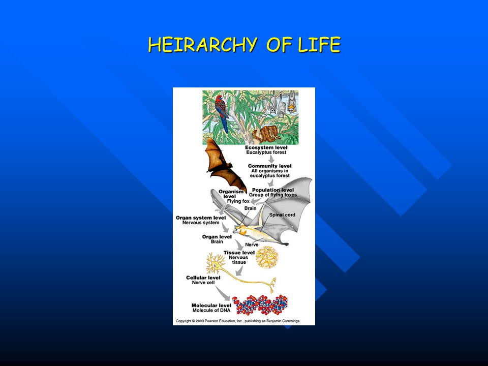 HEIRARCHY OF LIFE