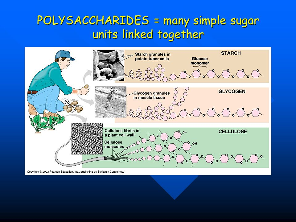 POLYSACCHARIDES = many simple sugar units linked together