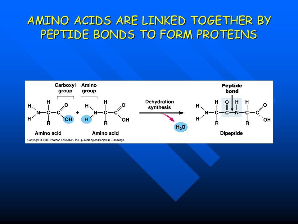 AMINO ACIDS ARE LINKED TOGETHER BY PEPTIDE BONDS TO FORM PROTEINS