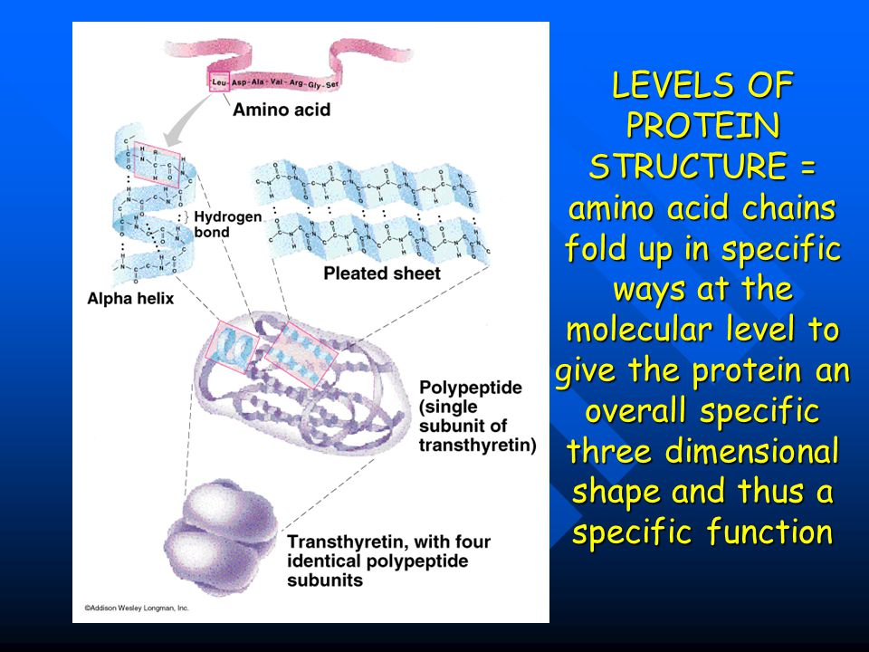 LEVELS OF PROTEIN STRUCTURE = amino acid chains fold up in specific ways at the molecular level to give the protein an overall specific three dimensional shape and thus a specific function
