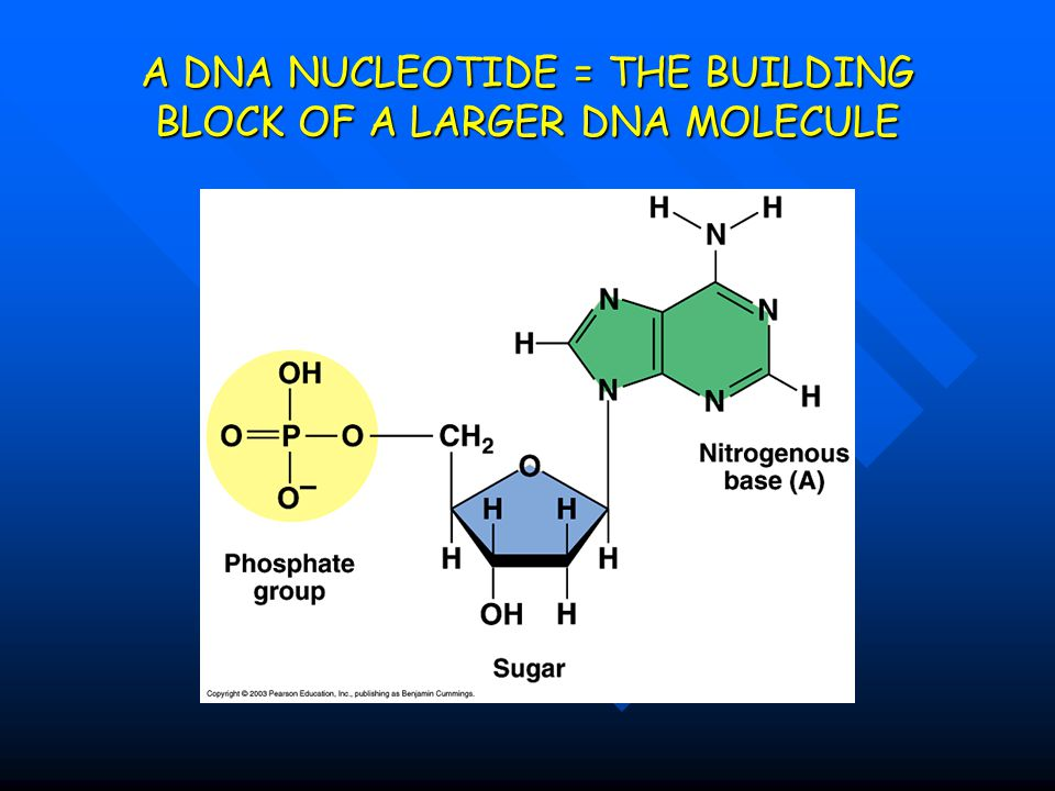 A DNA NUCLEOTIDE = THE BUILDING BLOCK OF A LARGER DNA MOLECULE