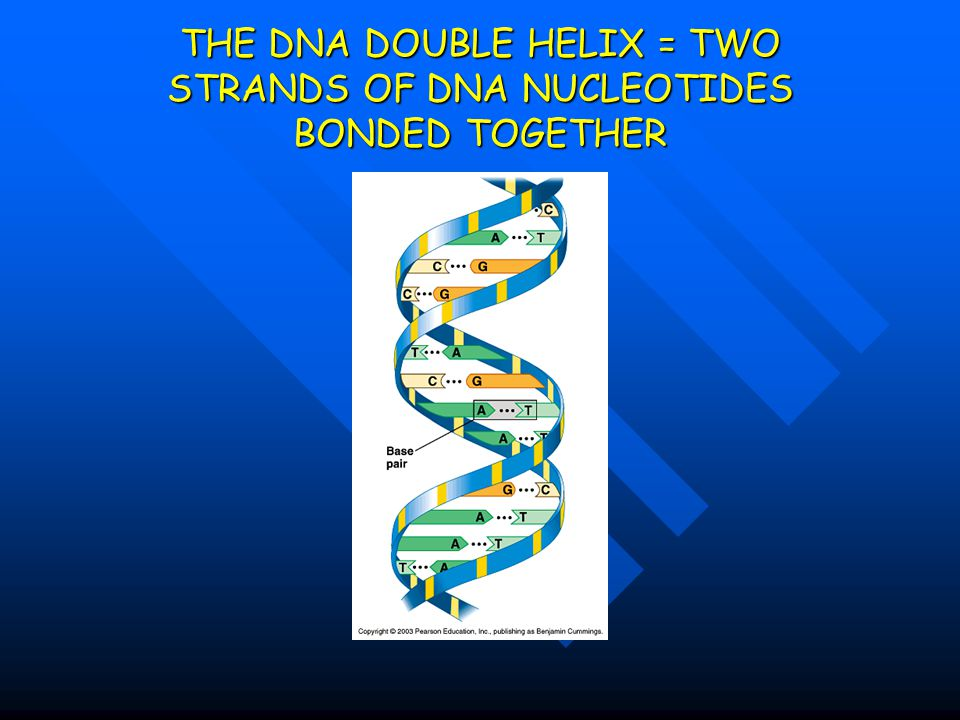 THE DNA DOUBLE HELIX = TWO STRANDS OF DNA NUCLEOTIDES BONDED TOGETHER