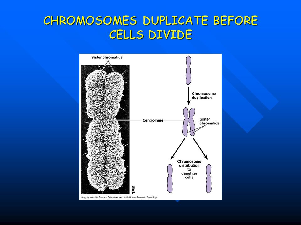 CHROMOSOMES DUPLICATE BEFORE CELLS DIVIDE