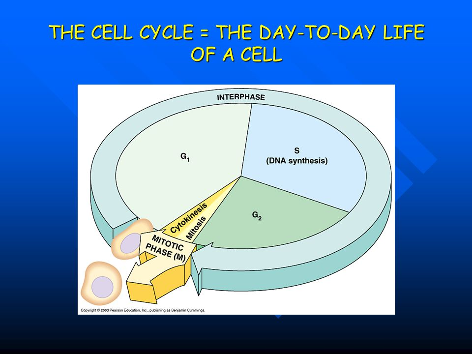 THE CELL CYCLE = THE DAY-TO-DAY LIFE OF A CELL