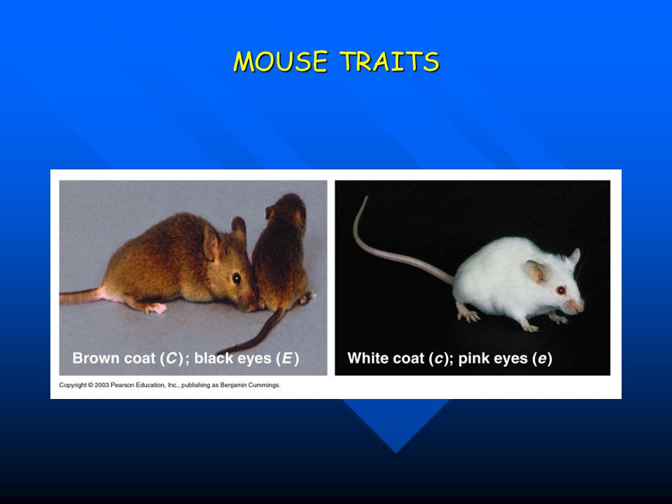 MOUSE TRAITS