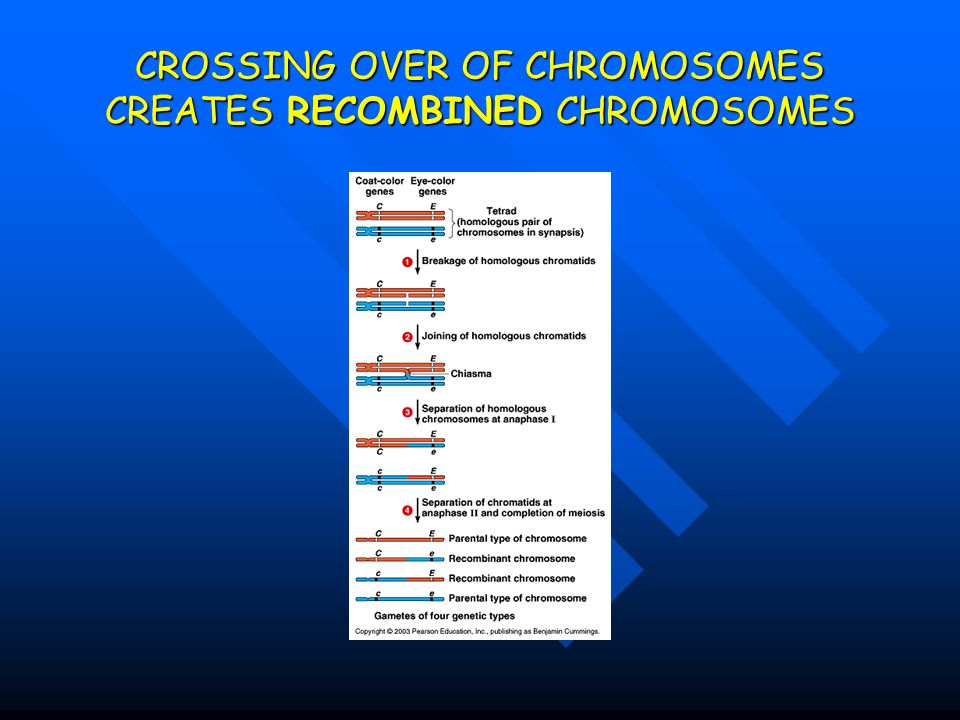 CROSSING OVER OF CHROMOSOMES CREATES RECOMBINED CHROMOSOMES