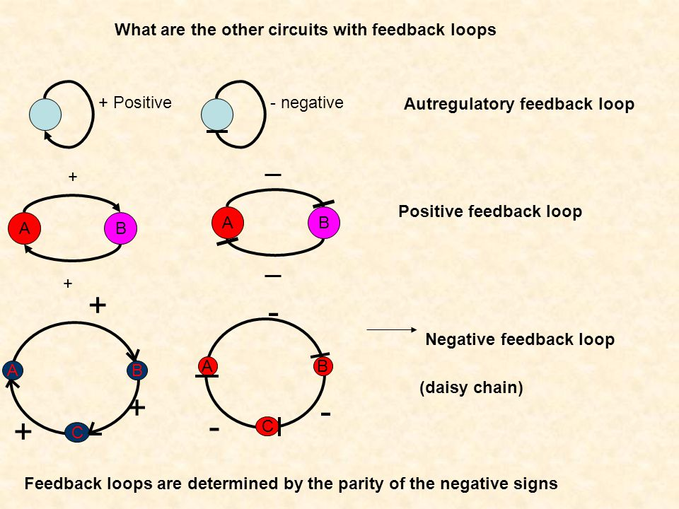 + - + - + What are the other circuits with feedback loops + Positive