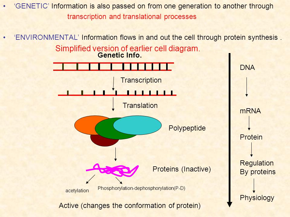 transcription and translational processes