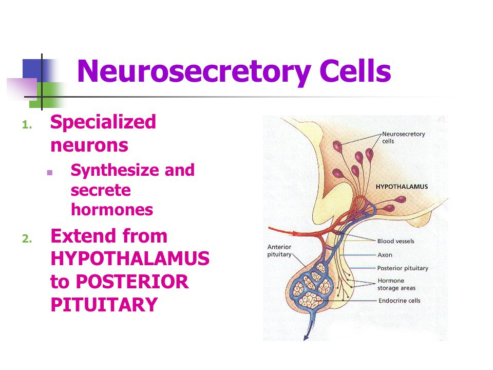 Neurosecretory Cells Specialized neurons