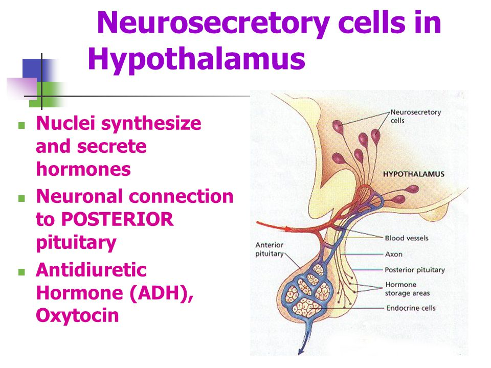 Neurosecretory cells in Hypothalamus