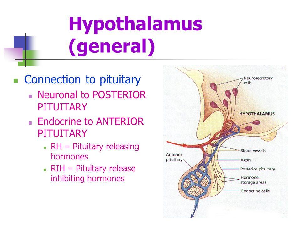 Hypothalamus (general)