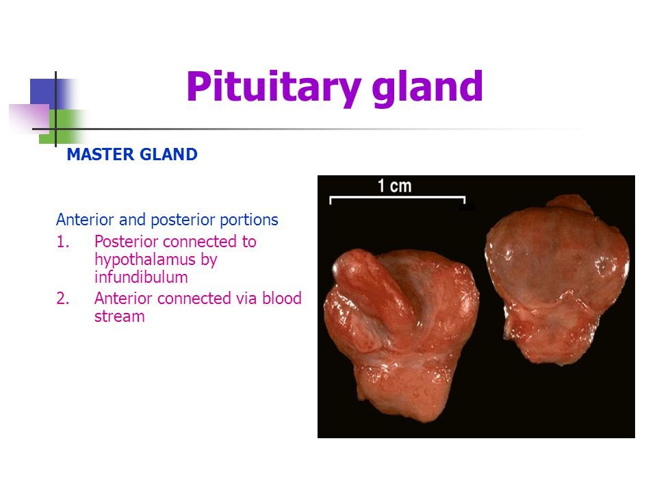 Pituitary gland MASTER GLAND Anterior and posterior portions