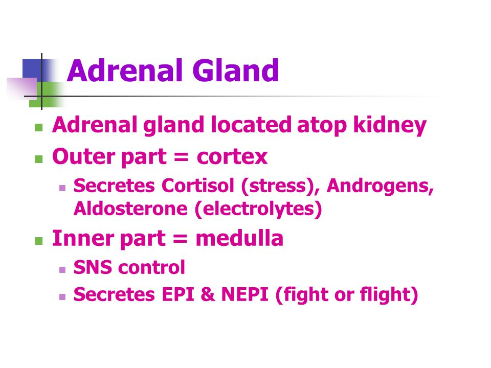 Adrenal Gland Adrenal gland located atop kidney Outer part = cortex